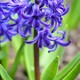 Purple Hyacinthus in a garden. Garden hyacinth with white bloomi - PhotoDune Item for Sale