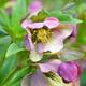 Beautiful pink Helleborus, spring flowers are blooming in the ga - PhotoDune Item for Sale