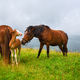 Horses on the meadow in the mountains. Foggy morning pasture - PhotoDune Item for Sale
