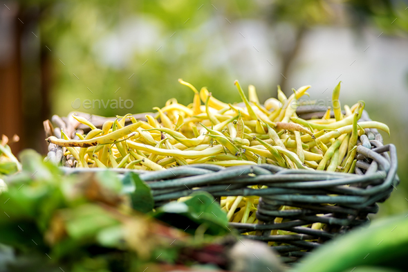 Rustic basket of freshly harvested yellow beans - Stock Photo - Images
