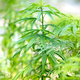 Closeup side view of a cannabis plant outdoors - PhotoDune Item for Sale
