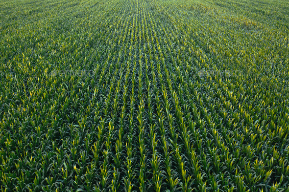 Aerial view of green corn crops field - Stock Photo - Images