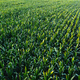 Aerial view of green corn crops field - PhotoDune Item for Sale
