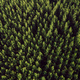 Aerial view of cottonwood populus green forest in summer - PhotoDune Item for Sale