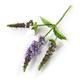 blooming mint flower - PhotoDune Item for Sale