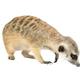cute meerkat ( Suricata suricatta ) isolated on white background - PhotoDune Item for Sale