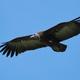 Hooded vulture (Necrosyrtes monachus) - PhotoDune Item for Sale