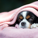 Dog under the pink blanket - PhotoDune Item for Sale