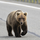 Hungry Wild Kamchatka Brown Bear Walking Along an Asphalt Road - PhotoDune Item for Sale
