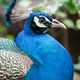 Peacock portrait - PhotoDune Item for Sale