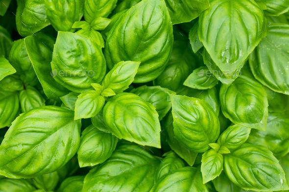 Raw Green Organic Basil Plant - Stock Photo - Images