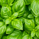Raw Green Organic Basil Plant - PhotoDune Item for Sale