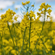 Detail of flowering rapeseed canola or colza, plant for green energy and oil industry - PhotoDune Item for Sale