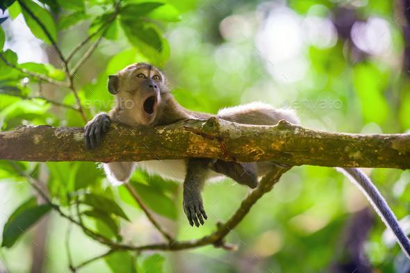 Crab-eating macaque Macaca fascicularis in Gunung Leuser National Park, Sumatra, Indonesia - Stock Photo - Images