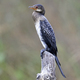 Long-tailed Cormorant (Microcarbo africanus) - PhotoDune Item for Sale