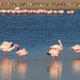 Greater flamingos in water - PhotoDune Item for Sale