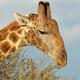 Giraffe feeding on a tree - PhotoDune Item for Sale