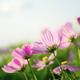 Pink cosmos in garden - PhotoDune Item for Sale