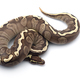 The royal python isolated on white background - PhotoDune Item for Sale