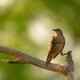 European bee-eater (Merops apiaster) in natural habitat - PhotoDune Item for Sale