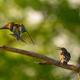 European bee-eater (Merops apiaster) and Common Starling (Sturnus Vulgaris) in natural habitat - PhotoDune Item for Sale