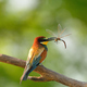 European bee-eater (Merops apiaster) in natural habitat - PhotoDune Item for Sale