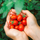 Fresh harvested cherry tomatoes - PhotoDune Item for Sale