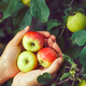 Ripe apples - PhotoDune Item for Sale