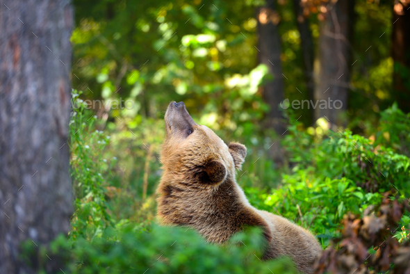 Young brown bear on the edge of the forest - Stock Photo - Images