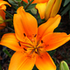 Beautiful lily - PhotoDune Item for Sale