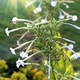 Fragrant tobacco flowers with sunlight - PhotoDune Item for Sale