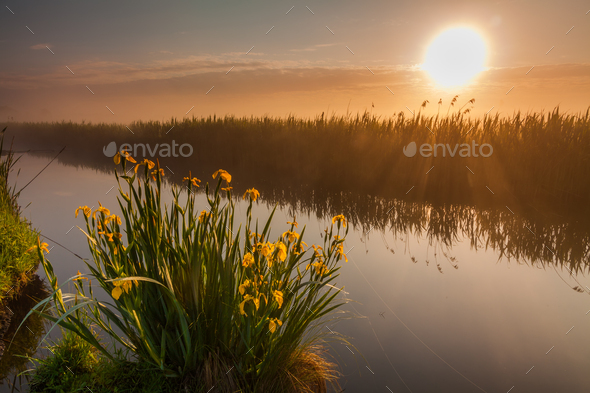 Beautiful yellow iris flowers in the rays of the dawn sun - Stock Photo - Images
