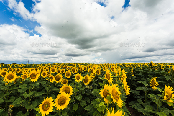 sunflower field - Stock Photo - Images