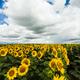 sunflower field - PhotoDune Item for Sale