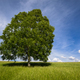 Isolated Tree on a Green Meadow - PhotoDune Item for Sale