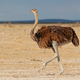 Female ostrich in desert landscape - PhotoDune Item for Sale
