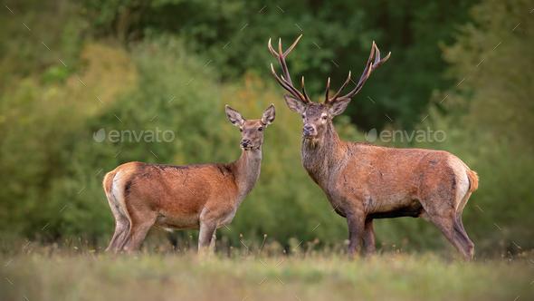 Red deer, cervus elpahus, couple in autum during mating season