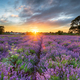 Sunset over beautiful fields of lavender - PhotoDune Item for Sale