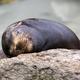 Seal sleeping on the stone - PhotoDune Item for Sale