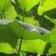 Indian Lotus aquatic plant detail - PhotoDune Item for Sale