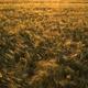 Grain Field - VideoHive Item for Sale