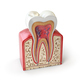Dental tooth anatomy. Cross section of human tooth isolated on w - PhotoDune Item for Sale