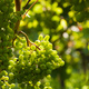Grapes growing - PhotoDune Item for Sale