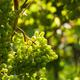 Grapes growing - PhotoDune Item for Sale