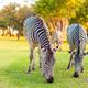 Plains zebra (Equus quagga) grazing - PhotoDune Item for Sale