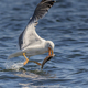 seagull eating fish - PhotoDune Item for Sale