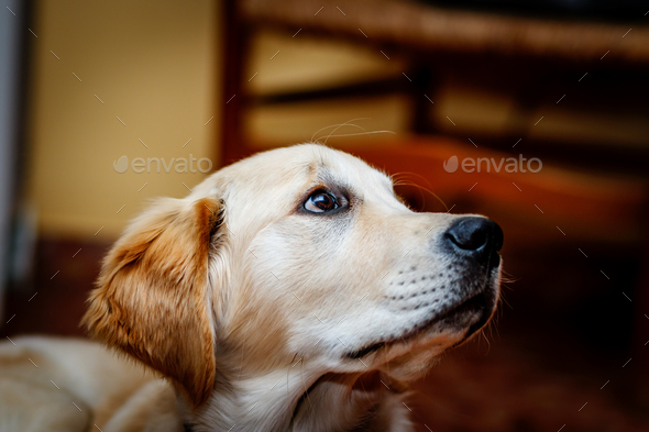 Beautiful puppy of Golden Retriever - Stock Photo - Images