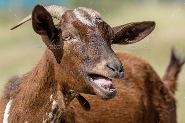 Brown goat - Stock Photo - Images