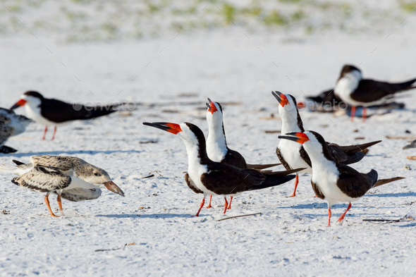 Black skimmer (Rynchops niger)  Pensacola, Florida, USA. - Stock Photo - Images