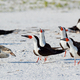 Black skimmer (Rynchops niger)  Pensacola, Florida, USA. - PhotoDune Item for Sale